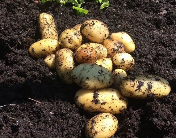 Kartoffel im Hochbeet